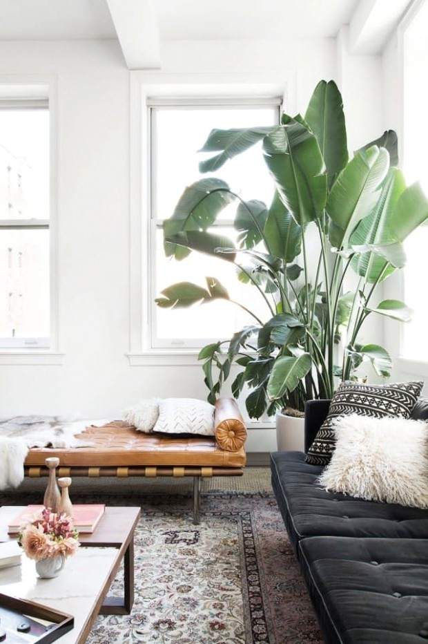 Decorating Drama: 14 Really Big Indoor Trees You Can Grow Inside .. | living room plants