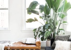 Decorating Drama: 14 Really Big Indoor Trees You Can Grow Inside ..